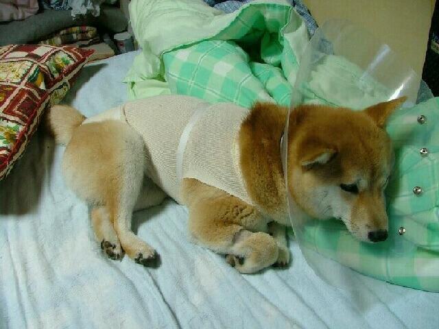 お疲れで就寝中です  うちの可愛い娘ミミちゃん!生誕8ヶ月過ぎました。先週動物病院で避妊手術の予約を!そして本日が手術日でした。先週「先生手術13日の金曜日 ...